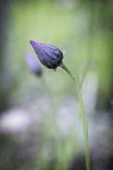 Bud (B.M.K. Photography) Tags: spring wildflower bud everlasting textured macro closeup pink purple green dof