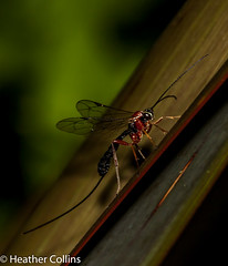 IMG_3644 (heathercollins101) Tags: insect ichneumon