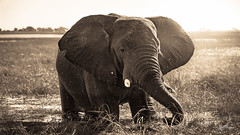 Bliss (anderswotzke) Tags: elephant sepia nature animal safari botswana chobe nationalpark choberiver sunset a7rii africa sony sigma dubai