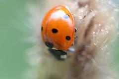 Up side down , #Insect , #mothernature , #delicate , #Ladybug , #beautiful , #splendid , #Bokeh , #photoart , #macro , #wanderlust , #bug , #Summer , #perspective , #elegant , #Exposure , #Garden , #contrast , #Photography , #Nature , #outdoor , #upclose (jwzw@ymail.com) Tags: up side down insect mothernature delicate ladybug beautiful splendid bokeh photoart macro wanderlust bug summer perspective elegant exposure garden contrast photography nature outdoor upclose color light composition closeup photographer dramatic fauna wildlife field