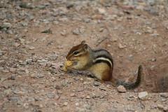 IMG_1978 (MatthewValdez) Tags: saultstemarie sault ste marie outdoor outdoors outside nature wildlife animal chipmunk nut nuts peanut peanuts brown rocks dirt eat eating