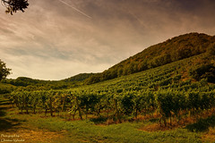 Weingrten am Fue des Leopoldsberg ... (Christian Vyhnalek) Tags: weingarten leopoldsberg kahlenbergerdorf wien abend