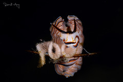 Doto greenamyeri with eggs (Randi Ang) Tags: dotogreenamnyeri nudi nudibranch seaslug kuanji tulamben bali indonesia underwater scuba diving dive photography macro randi ang canon eos 6d 100mm randiang