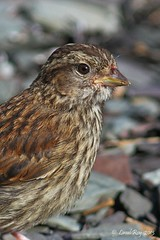 1.29721 Bruant  gorge blanche (immature) / Zonotrichia albicollis / White-throated Sparrow (Laval Roy) Tags: grosplan lavalroy aves birds oiseaux qubec leauxbasques bassaintlaurent bruantgorgeblanche zonotrichiaalbicollis whitethroatedsparrow passeriformes embrizids eos7d ef300mm14lisextender14xiii