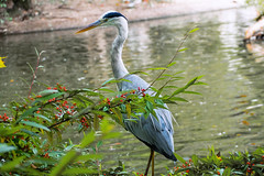 Graureiher / Grey Heron (JohannesVet) Tags: geolocation exif:isospeed=125 camera:make=panasonic exif:make=panasonic exif:aperture=40 exif:focallength=6581mm camera:model=dmcfz1000 exif:model=dmcfz1000 heron reiher lake teich see bird wildlife