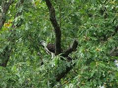 Osprey in Tree on Lake Thoreau (procktheboat) Tags: osprey lakethoreau restonvirginia restonva