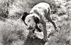 The shake off........(1) (Missy Jussy) Tags: rupert puppy dog springerspaniel spaniel englishspringer animal pets dogwalk lancashire yorkshire denshaw canon canon70200mm mono monochrome blackwhite bw blackandwhite bokeh littledoglaughednoiret