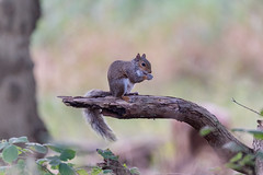 Grey Squirrel  |  Eichhrnchen (Natural Photography by CJH) Tags: eichhrnchen squirrel greysquirrel branch perch eat snack natural wildlife nature wild nikon d750 telephoto 300mm pf f4 300mmf4 300f4 nikkor teleconverter tc17eii pfedvr