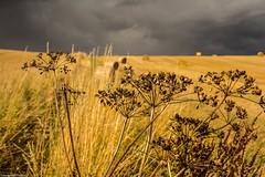 Make hay while the sun shines 2 . (AlbOst) Tags: bales hay wheat burnetsaxifrage greaterburnetsaxifrage clouds heavyskies yellow greyskies fields farmland