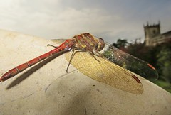 On a Wing and a Prayer (Dazzygidds) Tags: lighting clouds dragonfly nationaltrust warwickshire ruddydarter coughtoncourt redtips onawingandaprayer beautifulwings wingsoutstretched dragonflyandthechurch