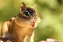 Stiff Upper Lip (flipkeat) Tags: portrait nature face animal funny wildlife sony chipmunk eastern chippy tamias a500 hackee