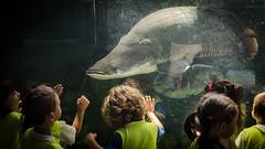 Wow! Um pirarucu. (Gonzalo Ribas) Tags: barcelona espaa fish kids spain nikon espanha caixa cosmo arapaima gigas pirarucu amaznia d5100