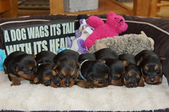 Gabby puppies