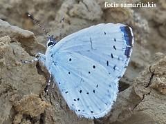Celastrina argiolus (Fotis Samaritakis) Tags: nature fauna butterflies kreta greece crete celastrinaargiolus