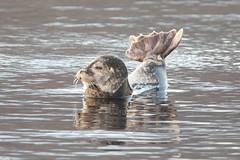 Harbour seal - Phoca vitulina - Landselur (*Jonina*) Tags: iceland ísland faskrudsfjordur fáskrúðsfjörður harbourseal phocavitulina landselur jónínaguðrúnóskarsdóttir 500views 25faves 1000views 50faves 1500views