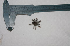 """Theraphosa stirmi cb14 sling • <a style=""""font-size:0.8em;"""" href=""""http://www.flickr.com/photos/77637771@N06/15619851298/"""" target=""""_blank"""">View on Flickr</a>"""