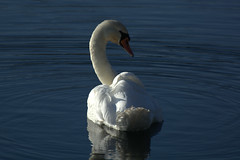 Swan on the turn (mikeyb125) Tags: blue nature wildlife swans reflextion cotswoldwaterpark