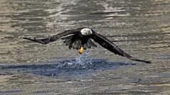 Bald Eagle (frank1556) Tags: eagle bald