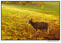 Autum Goat (Henry Booth Photography) Tags: sun get tree love me leaves animal corner fence found one for this close with shot autum photos good walk low small group under goat trying made where goats same round friendly while they them came fed though stayed couldnt on the previous
