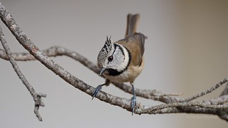 Came to offer me a snack. Crested tit (Lophophanes cristatus)  _0895