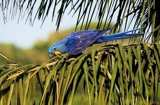 Arara-azul-grande | Hyacinth Macaw (Anodorhynchus hyacinthinus)