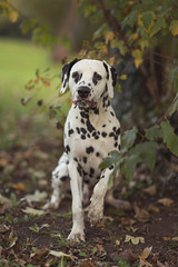 autumn* (Burin-Herbst   Photography) Tags: autumn portrait dog pet pets tree dogs nature canon photography outdoor herbst natur wiese 85mm hund tuesday shooting baum dalmatian hunde snape rde dalmatiner petphotography tierfotografie twitter petphotographer twittertuesday haustierfotografie burinherbst petspetphotography burinherbstphotography