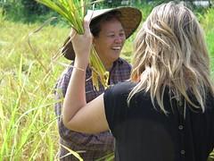 "Anaïs en pleine récolte du riz <a style=""margin-left:10px; font-size:0.8em;"" href=""http://www.flickr.com/photos/83080376@N03/15711931878/"" target=""_blank"">@flickr</a>"