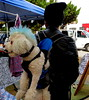 Stylish Pup (Lucyrk in LA) Tags: california ca people dog pet pets dogs strange animal canon puppy la weird december hairdo odd melrose hollywood backpack mohawk pup animalplanet owner hollywoodca 2014 laist strapped melroseavenue onlyinla melrosetradingpost lucyrkinla lucyrendlerkaplan canonpowershotsx40hs thisisadoginabackpackwithabluemohwaknoreally hedidntevenseemtomind