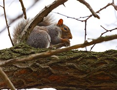 Nature 11/14/14 (Tap5140) Tags: canon squirrel eos50d