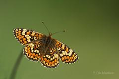 Knapweed Fritillary (Melitaea phoebe, knoopkruidparelmoervlinder) (Rob Blanken) Tags: macro butterfly fritillary knapweedfritillary melitaeaphoebe knoopkruidparelmoervlinder nikond800 sigma180mm128apomacrodghsm