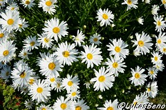 White daisies (LukasBeno) Tags: flowers blue light wild summer sun white plant abstract flower color macro green nature floral beautiful beauty up field grass yellow closeup rural garden season landscape spring flora colorful day pattern close natural bright outdoor head background country seasonal lawn meadow sunny fresh growth daisy bloom environment wildflower chamomile uncultivated