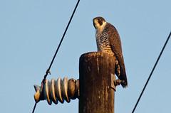 Peregrine Falcon (Falco peregrinus) (fogartyf) Tags: falcoperegrinus