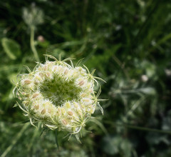 Wild carrot (Daucus carota) (lovestruck.) Tags: white flower seeds carrot wildflower