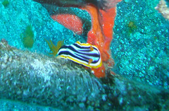 Nudibranch in the Gulf of Aqaba (California Will) Tags: redsea scuba jordan nudibranch aqaba