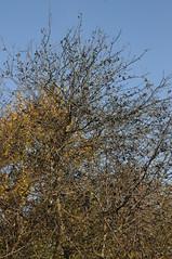 Schlehen (Prunus spinosa) mit reichem Fruchtansatz; Bergenhusen, Stapelholm (48) (Chironius) Tags: stapelholm bergenhusen schleswigholstein deutschland germany allemagne alemania germania германия szlezwigholsztyn niemcy frucht fruit frutta owoc fruta фрукты frukt meyve buah schlehdorn prunusspinosa schlehe blackthorn sloe терновник терн prunelle prugnola abrunho yabaneriği sleedoorn slånbär endrino herbst herfst autumn autunno efteråret otoño höst jesień осень rosids fabids rosales rosenartige rosaceae rosengewächse rosoideae spriraeoideae steinobstgewächse prunus amygdaleae