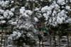 木流し - Panning Shots over the trees - (1973-pinball) Tags: winter snow train kyoto kurama sakyoku eiden ninose xe2 summarit50mmf15 eizandensha eizanrailway ゆる鉄 yurutetsu