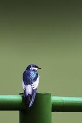IMG_1650a-1-2.jpg (Ernesto Eugenio Bellotto) Tags: azul n aves goiânia andorinha 2011