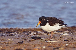 Oystercatcher at High Tide
