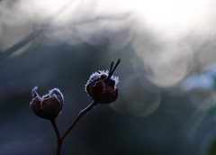 Frost and bokeh (kimbenson45) Tags: frostbokehnaturehighlightsfrostyiceicycrystalsplantseedheads