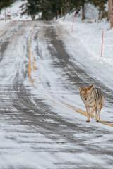 Lonely Planet (dbushue) Tags: road coyote winter snow nature landscape nikon scenery wildlife january yellowstonenationalpark lonely wyoming icy purpose harsh ynp determination 2014 specanimal northeastentranceroad dailynaturetnc14 photoofthedaynwf14 dailynaturetnc15 photoofthedaynwf15