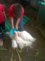 IMG-20160505-05705 (dernst) Tags: jardin huevos cosecha gallinas preescolar