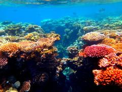 Great Barrier Reef, Australia, 2014 (sabbondanza) Tags: australia snorkeling southpacific