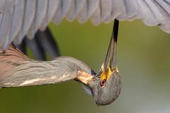 Bottom Up (Don Burkett) Tags: nature birds animal fauna canon florida outdoor wildlife southflorida dlsr wakodahatcheewetlands donburkett canon7dmkii 100400mii ef100400f4556liiusm dtburkett