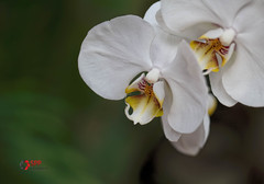 Orchid (SPP- Photography) Tags: morning flowers como orchid flower nature canon morninglight petals orchids blossom blossoms 100mm blooms blooming 6d flowersplants macro100mm marjoriemcneelyconservatory canon6d