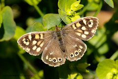 Speckled Wood (ABPhotosUK) Tags: macro animals canon garden wildlife butterflies lepidoptera devon nocrop dartmoor invertebrates speckledwood nymphalidae parargeaegeria ef25mmextensiontube eos7dmarkii ef100400mmisii