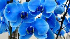 Orquideas Azules (ketutita) Tags: flowers blue spring orchids holanda nederlands keukenhof blueorchids