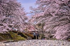 (DSC_2872) (nans0410(busy)) Tags: japan cherry outdoors spring scenery kyoto blossom  sakura kansai   kameoka     kinkiarea