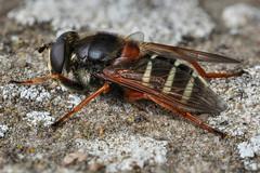 hoverfly (Iain Lawrie) Tags: macro focus stack handheld hoverfly sericomyia lappona iainlawrie