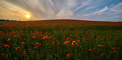 Cambridgeshire Poppies (David Baterip) Tags: uk summer england sky flower floral field clouds landscape outdoors golden countryside farmland hour poppy poppies d750 cambridgeshire poppyfield tokina1116f28 nikond750