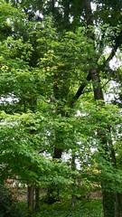 DSCN1430 (VerlynC) Tags: tree falling hickory